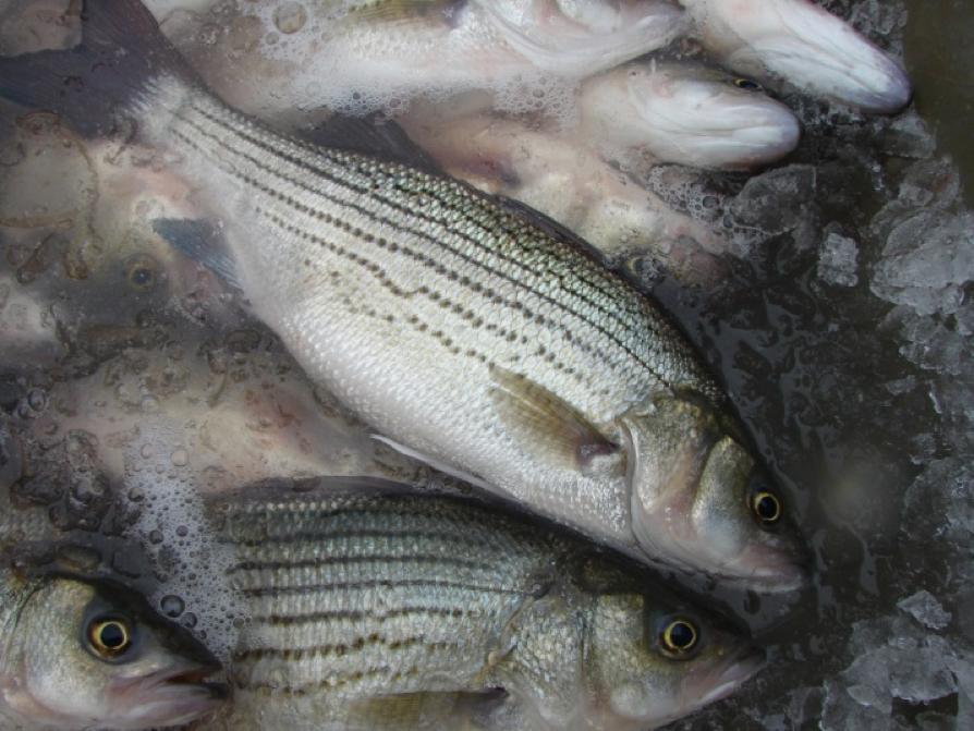 many fish
