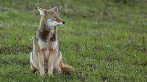 Cover photo for Managing Coyote Conflict